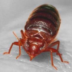 bed bug fed 300x300